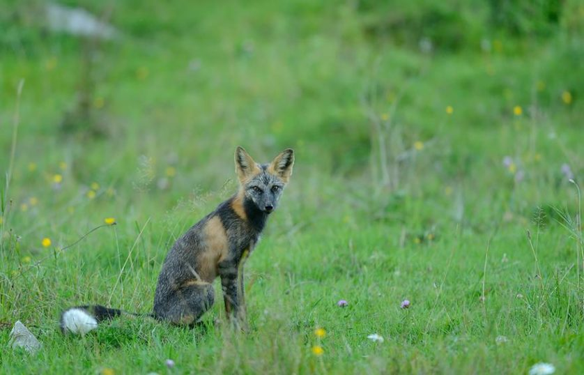 raposas 7-