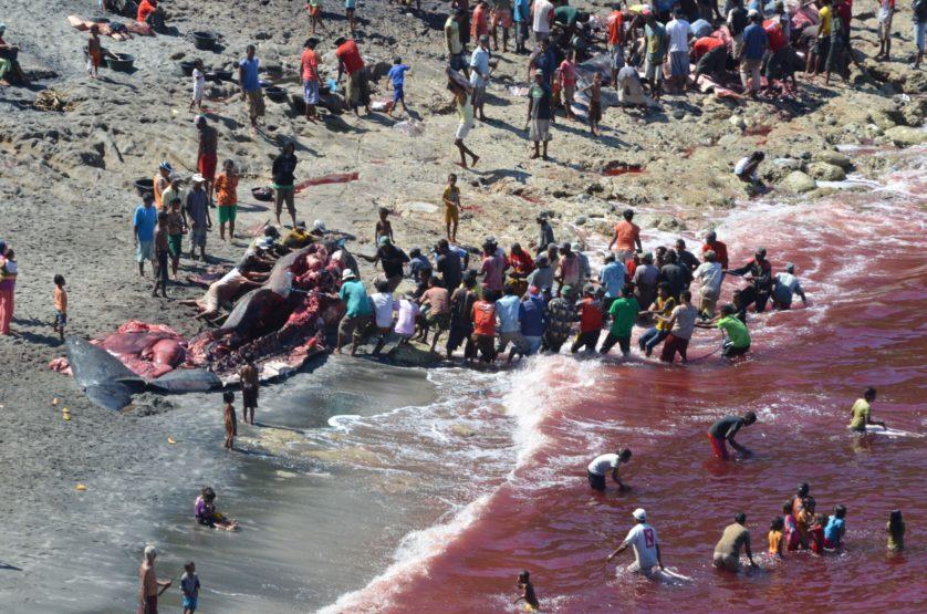 caca baleia lamalera (3)