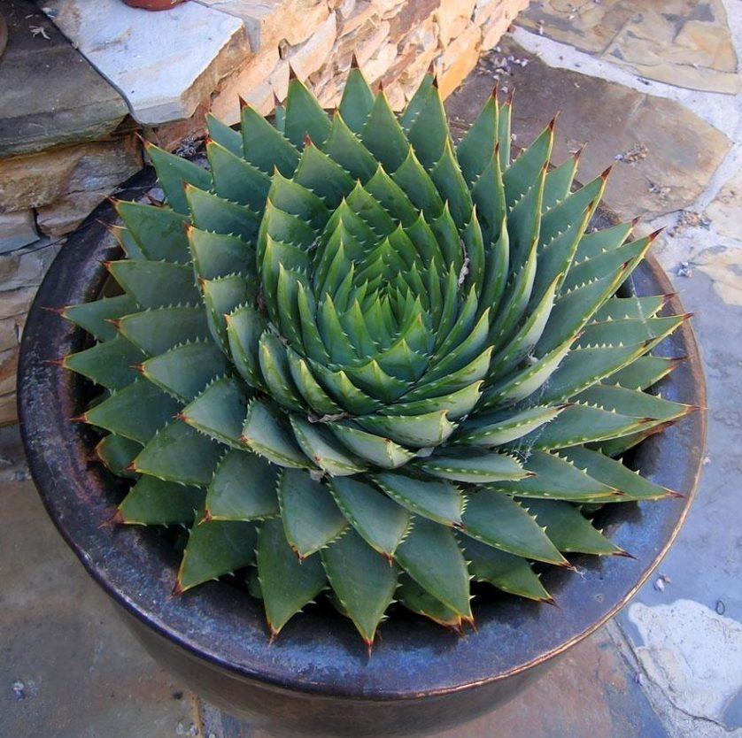 piante geometriche 12