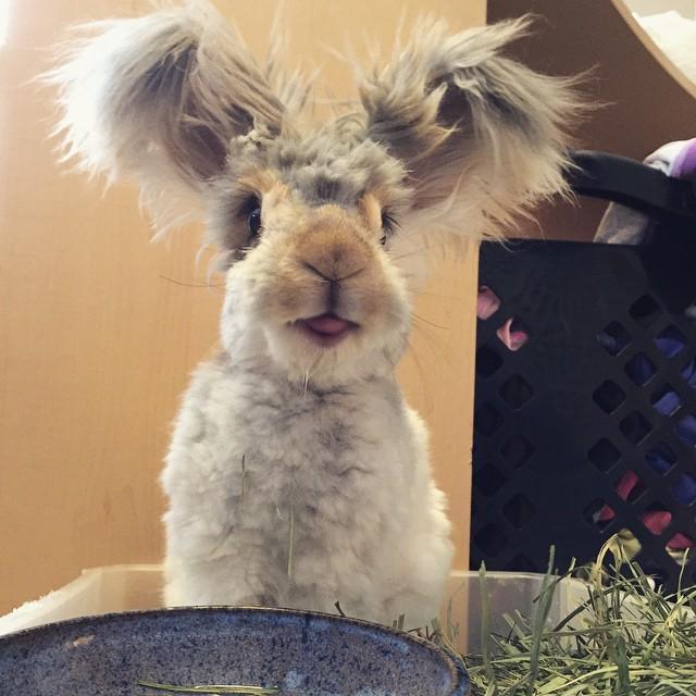 wally coniglio d'angora (6)