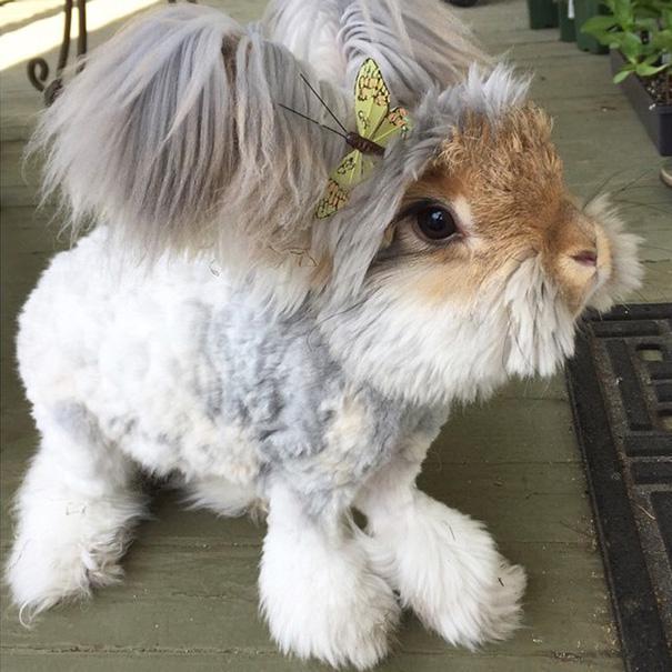 wally coniglio d'angora (7)