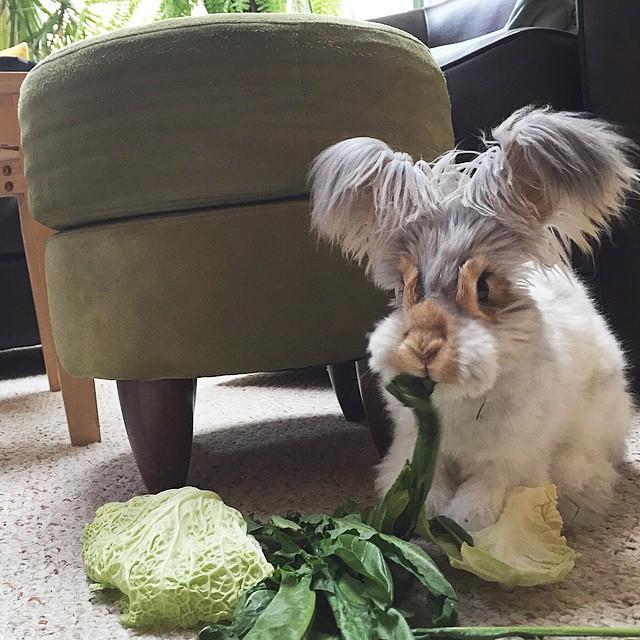wally coniglio d'angora (9)