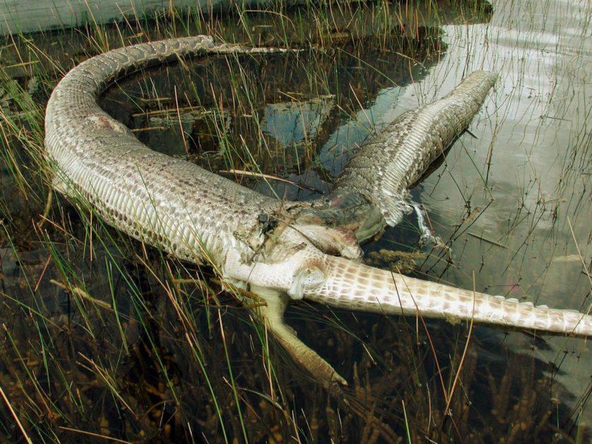 cobras gulosas 7