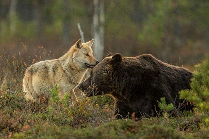 urso e lobo melhores amigos (1)