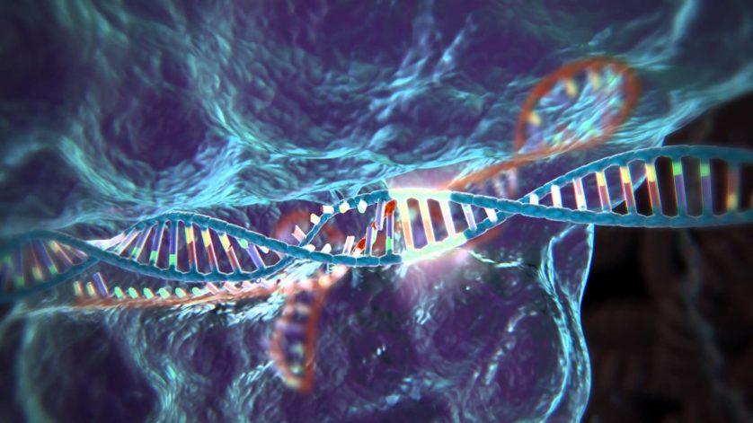 edicao de genes porcos doadores orgaos