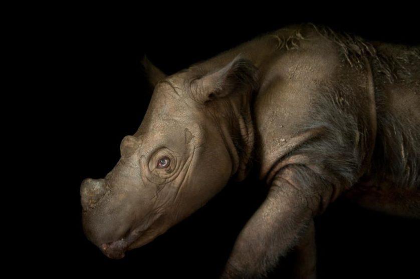 Harapan, um rinoceronte de Sumatra macho de quatro anos (Dicerorhinus sumatrensis) no Centro de Conservação White Oak, EUA