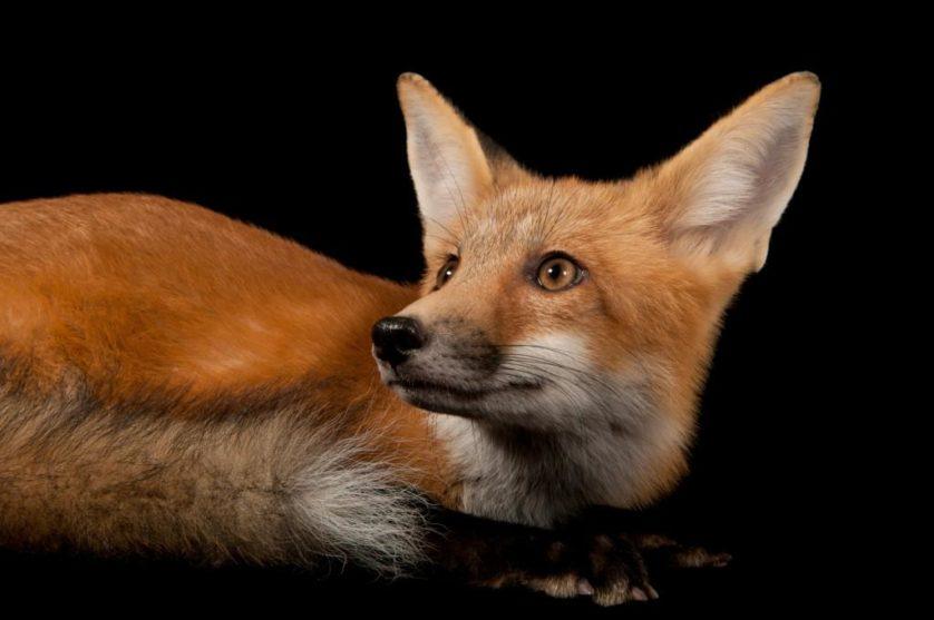 Uma raposa vermelha (Vulpes vulpes)