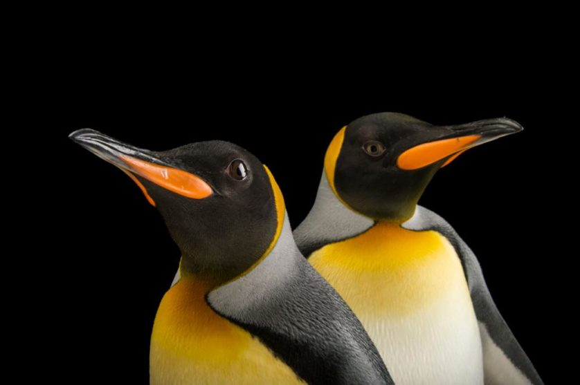 Pinguins-rei (Aptenodytes patagonicus) no jardim zoológico de Indianapolis