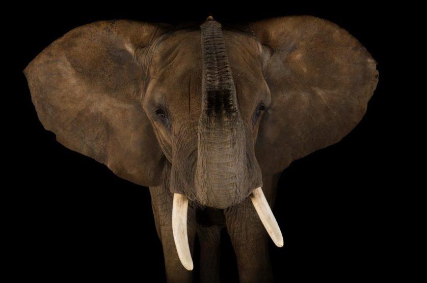 Elefante africano (Loxodonta africana) no jardim zoológico de Indianapolis, EUA