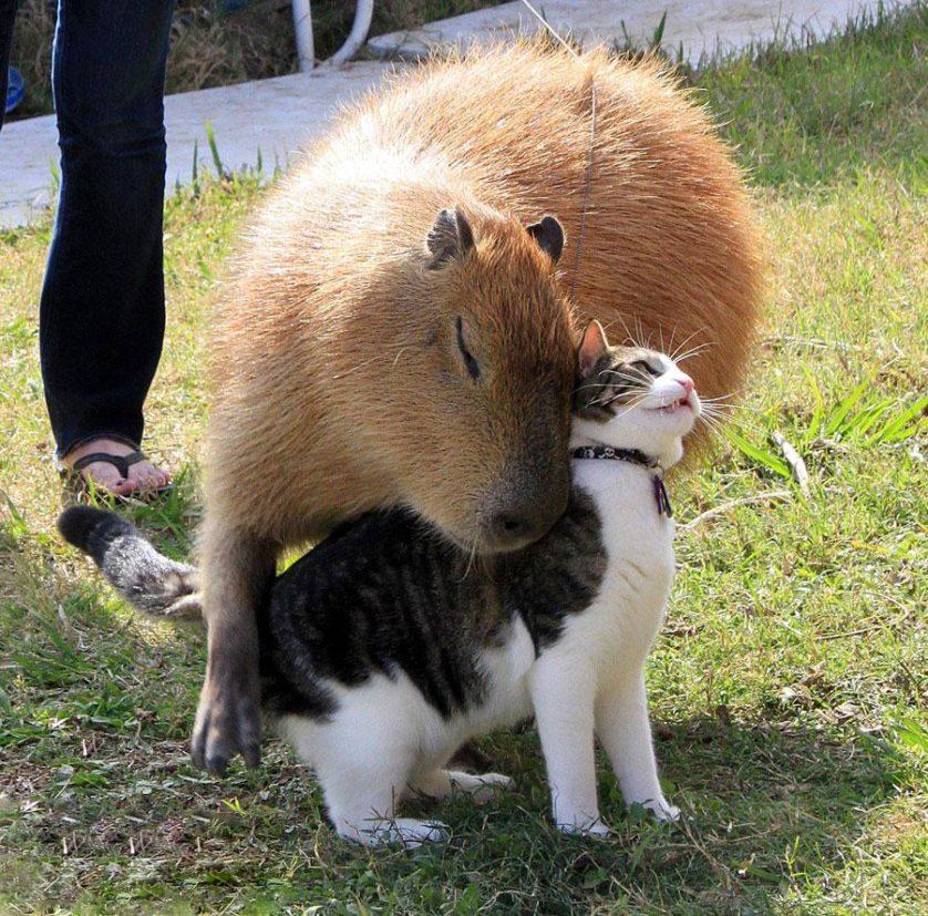 capivara com outros animais (10)