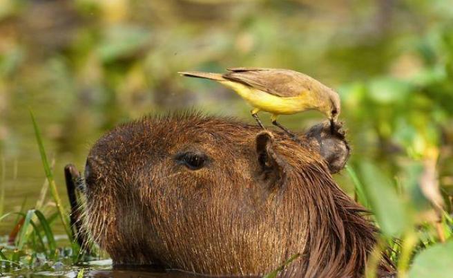 capibara con altri animali (15)