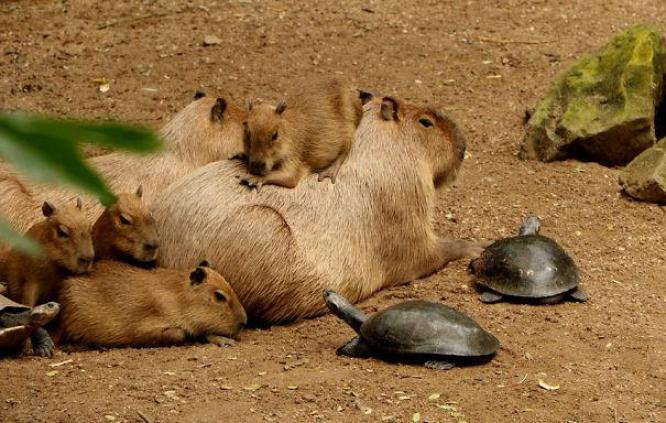 capibara con altri animali (16)