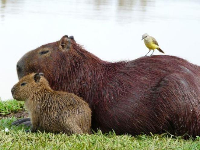 capibara con altri animali (19)