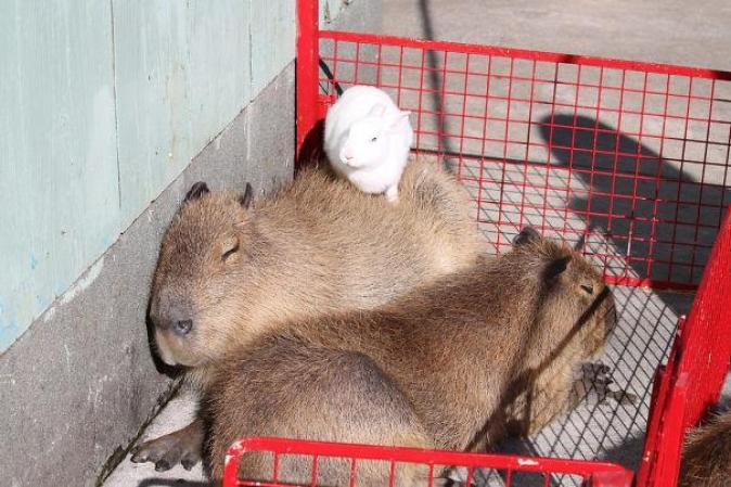 capibara con altri animali (5)