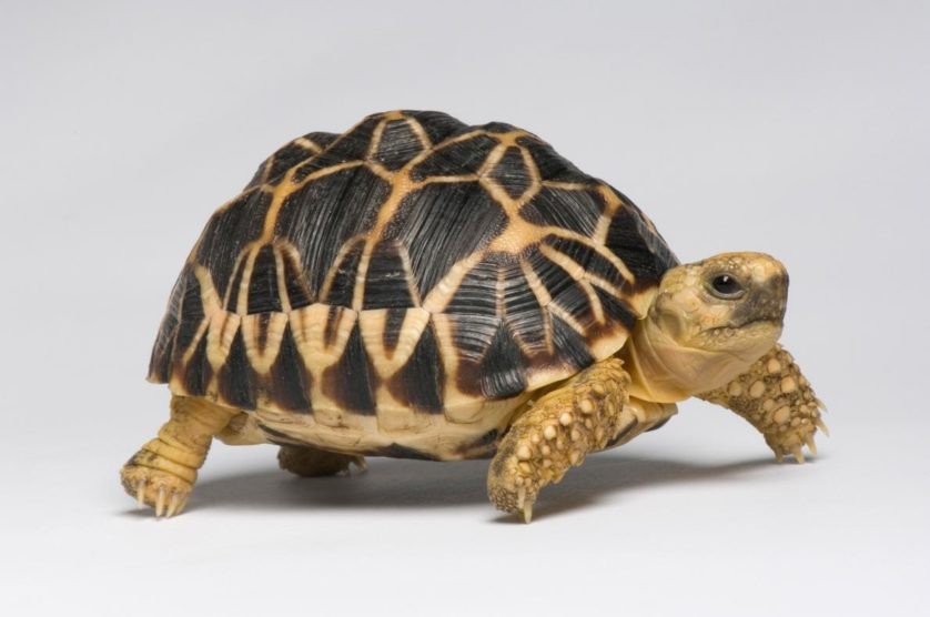 Geochelone platynota, nativa do Myanmar, a tartaruga estrelada birmanesa também está ameaçada