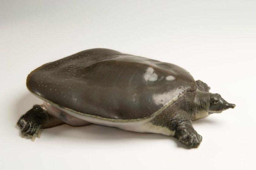 Apalone mutica calvata, uma subestécie das tartarugas de casco mole e liso