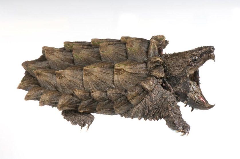 Macrolemys temminckii, tartaruga aligátor, as fêmeas não pesam mais de 23kg, mas os machos chegam a 80kg, alguns até os 100kg.