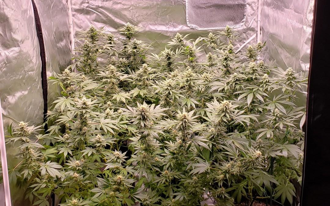 flowering in 4x4 tent