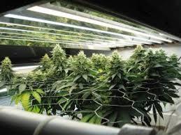 cannabis grow lights