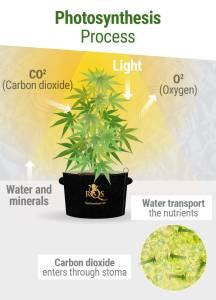 cannabis photosynthesis