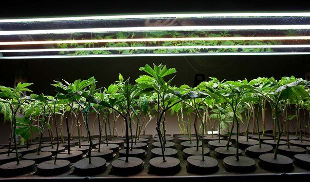 How to Clone Cannabis Plants