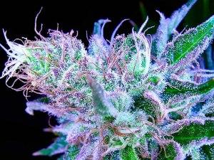 marijuana resin
