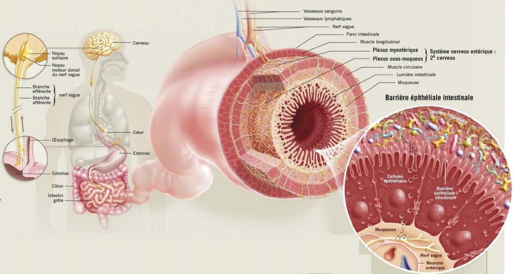 intestin1