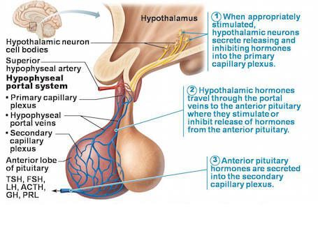 How Sheehan's Syndrome Happens