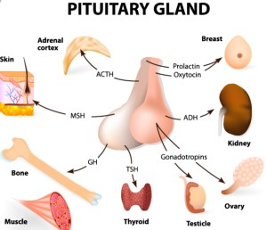 Hormones Released By Pituitary Gland