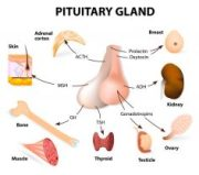 Pituitary Gland Photo