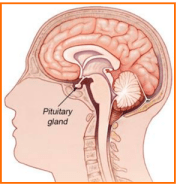 DO YOU KNOW THE LOCATION OF YOUR PITUITARY GLAND?