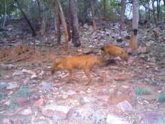 Dholes on hunt