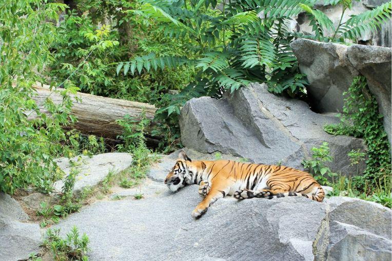 tigre paresseux tierpark berlin