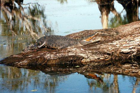 Saltwater Croc, Kakadu NP. Photo by Mbz1, CC BY-SA 3.0