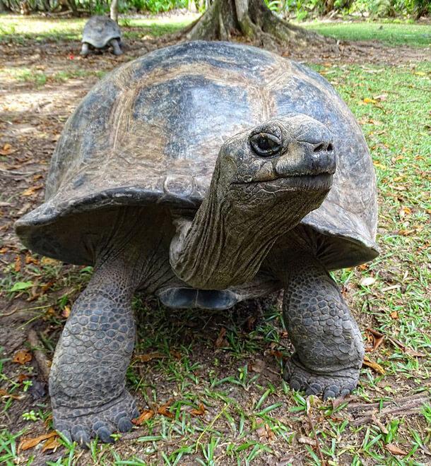 Seychelles: Aldabra turtle