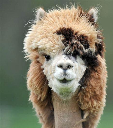 Better than Machu Pichu: Funny Peruvian Llamas