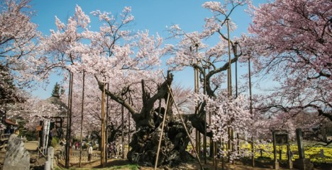 Disappointing travel destination sakura bloom Japan