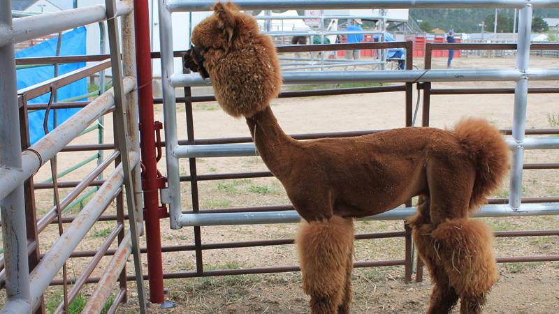 funny peruvian llamas