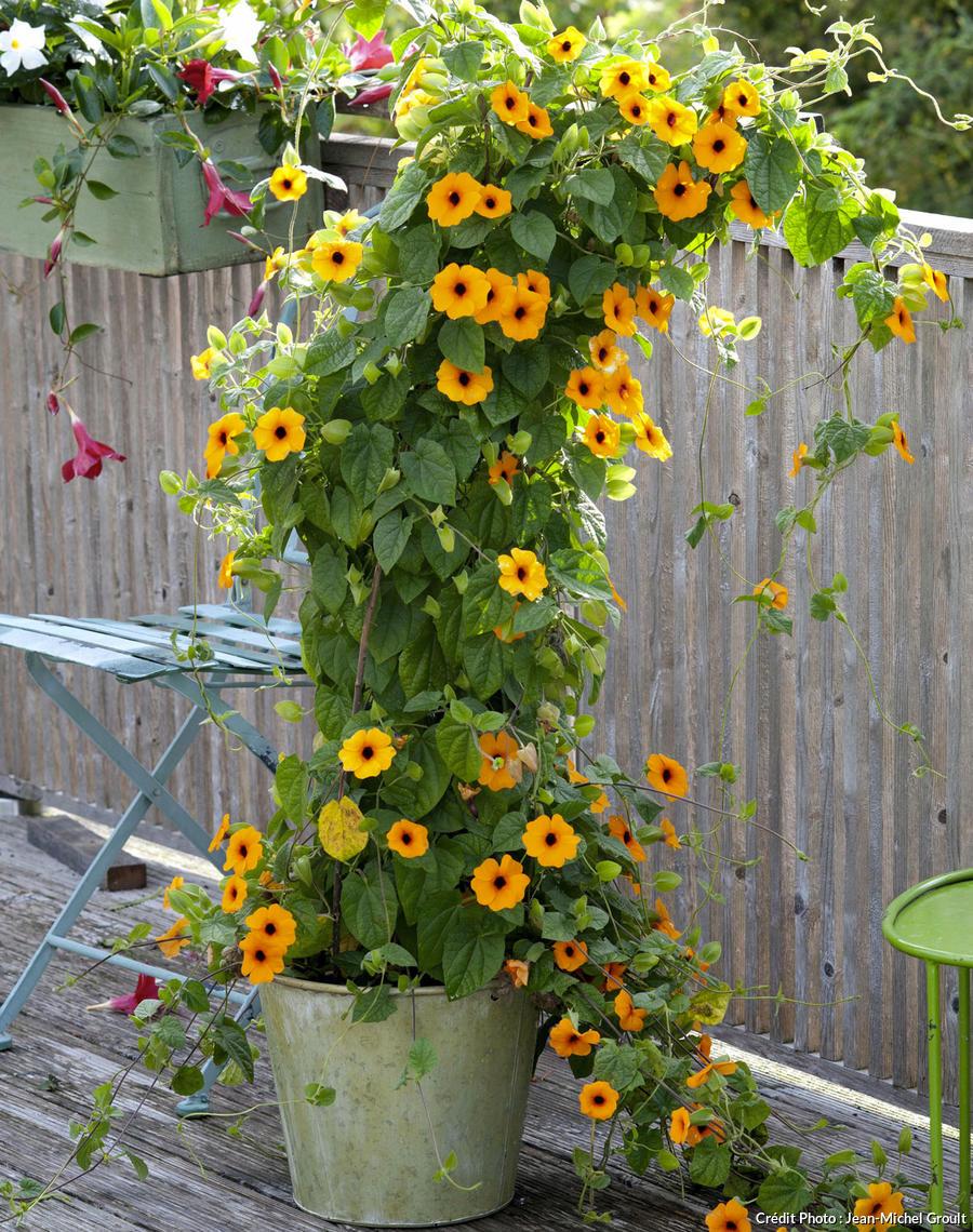 plante grimpante annuelle 15 fleurs a