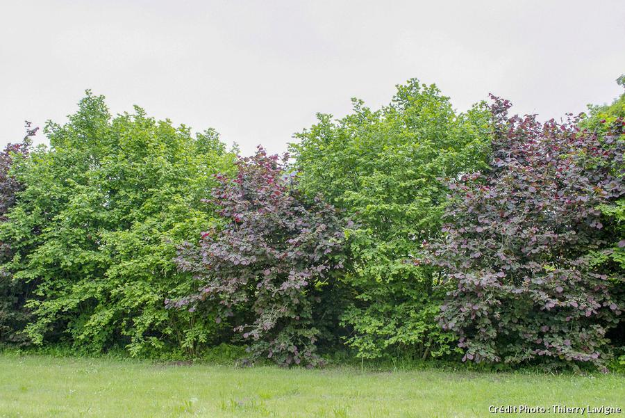 4 arbustes a croissance rapide
