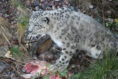 Kolmården-Snöleopard 475