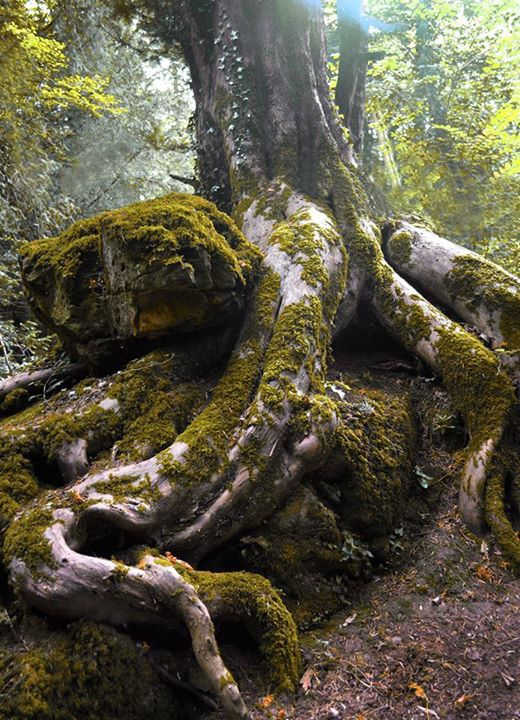 Magical winding roots Puzzlewood Forest of Dean Gloucestershire