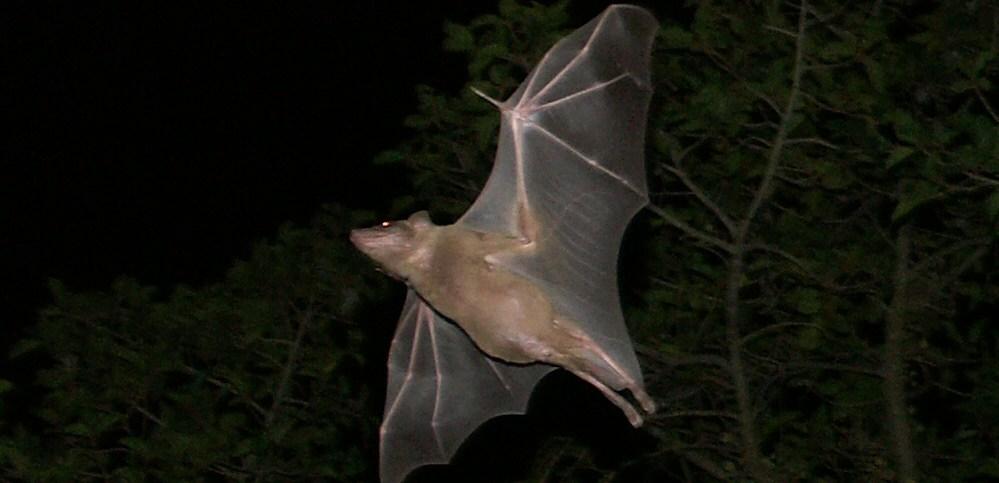 Egyptian Fruit Bat Using Echolocation