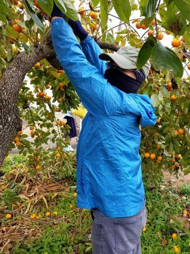 果樹の扱いに慣れた泥棒