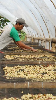 coffee drying process