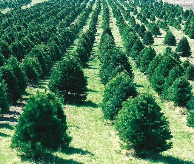 Best Places To Cut Your Own Christmas Tree In Cincinnati