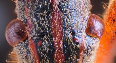 Leptoglossus Occidentalis Macro Eyes