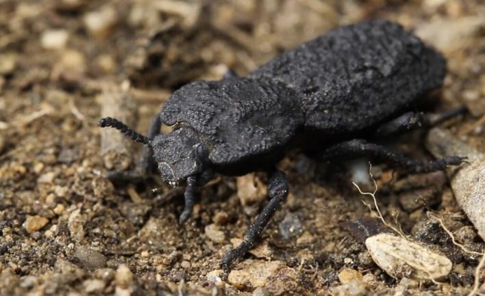 Este escarabajo acorazado puede soportar el peso de 39.000 personas: acabamos de descubrir el secreto de su 'diabólica' resistencia