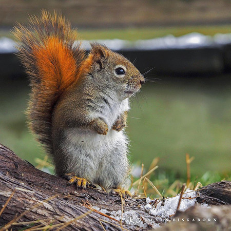 Kevin Biskaborn Red Squirrel