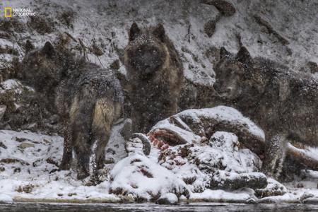 Wolves Feeding Bison
